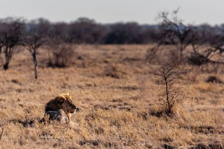Impression of a Male Lion - Panthera leo- resting on the plains of Etosha national park, Namibia; catching the early morning sun. 写真素材