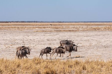 A herd of Blue Wildebeest -Connochaetes taurinus- also known as Gnus, heading out onto the salt pans of Etosha National Park, Namibia. 写真素材