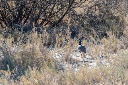 The Kori Bustard -Ardeotis kori- is considered to be the largest flying bird of Africa. Here it is seen walking in Etosha National Park.
