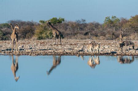A group of Angolan Giraffe - Giraffa giraffa angolensis- and Burchells zebra -Equus quagga- burchellii)drinking from a waterhole, while being reflected in the surface of the water. Etosha National Par 写真素材