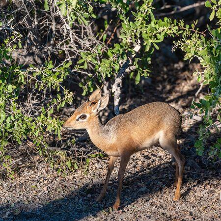 A Kirks Dik Dik -Madoqua kirkii- hiding in the bushes of Etosha National Park, Namibia. Dik Diks are small antelopes living in South West Africa.