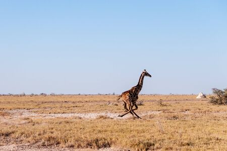 A galloping Giraffe - Giraffa Camelopardalis- on the plains of Etosha National Park, Namibia. Reklamní fotografie