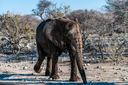 A giant African Elephant -Loxodonta Africana- walking past through the bushes of Etosha National Park, Namibia. Stockfoto