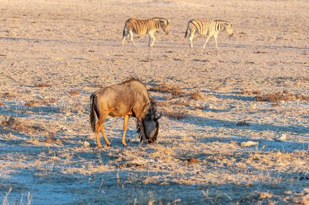 A blue wildebeest - Connochaetes taurinus- walking on the plains of Etosha around sunset. Etosha National Park, Namibia. Фото со стока