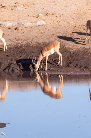 One Impala -Aepyceros melampus- drinking from a waterhole in Etosha National Park, Namibia.