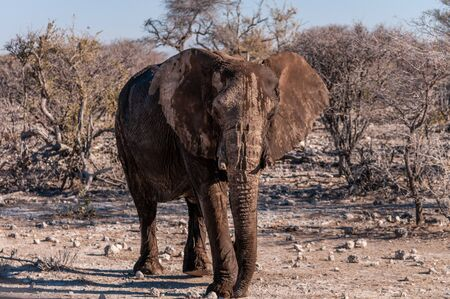 An adult African Elephant -Loxodonta Africana- walking past after having taken a bath in a waterhole. Фото со стока