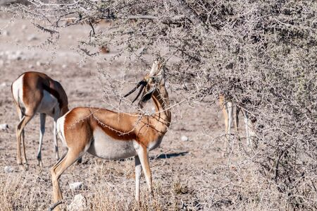One Impala - Aepyceros melampus- browsing from scrubs in Etosha National Park, Namibia. 写真素材