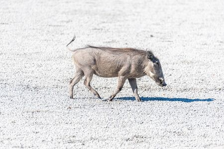 Closeup of a Common Warthog - Phacochoerus africanus- on the Etosha Salt Pan. 写真素材