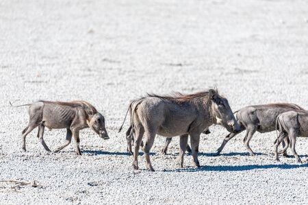 Closeup of a group of Common Warthogs - Phacochoerus africanus- on the Etosha Salt Pan.