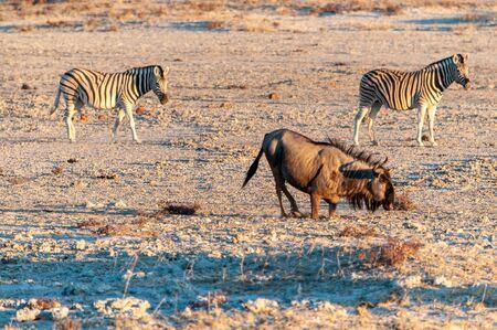 Blue wildebeest - Connochaetes taurinus- and Burchells Plains zebra -Equus quagga burchelli-walking on the plains of Etosha around sunset. Etosha National Park, Namibia.
