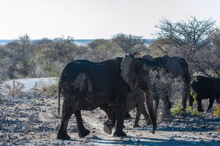 A herd of African Elephants -Loxodonta Africana- walking past after having taken a bath in a waterhole in Etosha National Park, Namibia.