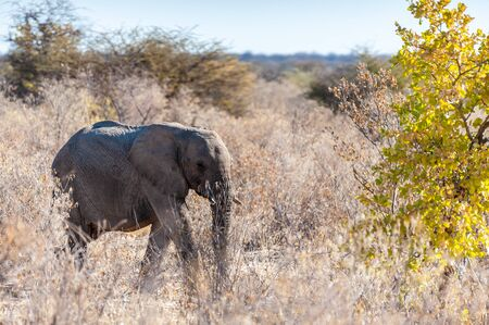 A giant African Elephant -Loxodonta Africana- walking past through the bushes of Etosha National Park, Namibia. Фото со стока