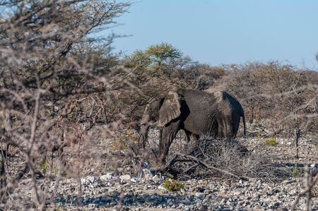 A giant African Elephant -Loxodonta Africana- walking pas after having taken a bath in a waterhole in Etosha National Park, Namibia.