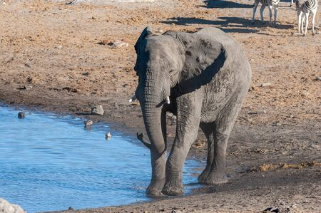 A giant African Elephant -Loxodonta Africana- walking in front of a waterhole in Etosha National Park, Namibia.