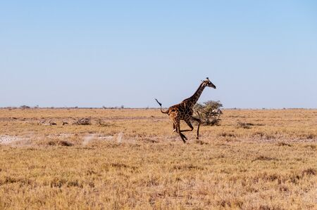 A galloping Giraffe - Giraffa Camelopardalis- on the plains of Etosha National Park, Namibia. Reklamní fotografie - 132203931