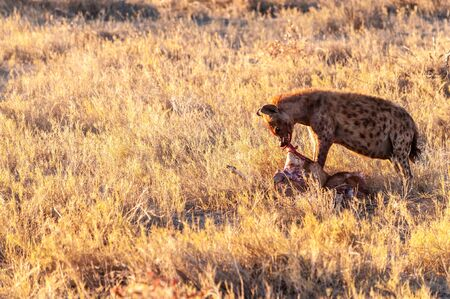 Close-up of a spotted Hyena - Crocuta crocuta- with a prey, seen during the golden hour of sunset in Etosha national Park, Namibia. Stock Photo - 132753537