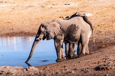 Two African Elephants -Loxodonta Africana- drinking from a waterhole. Etosha National Park, Namibia.