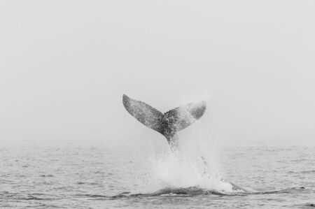 The Tail of a Humpback whale - Megaptera novaeangliae- emerging from the surface of the ocean, near Walvis Bay, Namibia.