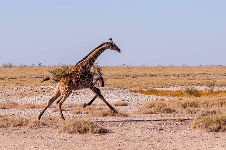 A galloping Giraffe - Giraffa Camelopardalis- on the plains of Etosha National Park, Namibia. Reklamní fotografie