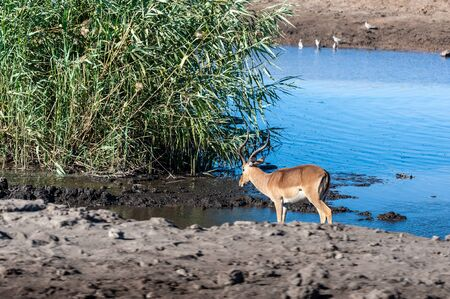 One Impala -Aepyceros melampus- drinking from a waterhole in Etosha National Park, Namibia.