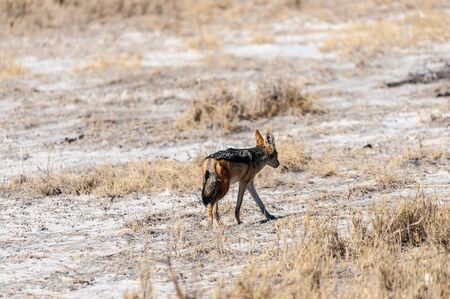 A side-striped Jackal -Canis Adustus- hunting for prey in Etosha National Park, Namibia. Stock fotó