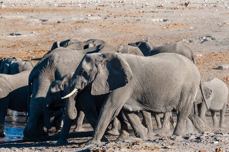A herd of African Elephants -Loxodonta Africana- bathing in a waterhole in Etosha National Park, Namibia. Фото со стока