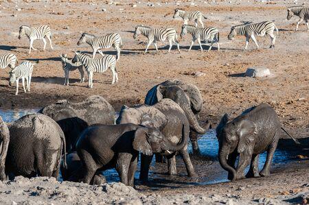 A herd of African Elephant -Loxodonta Africana- taking a bath in a waterhole in Etosha national Park. A group of Burchells Plains zebra (Equus quagga burchelli) is seen in the background.