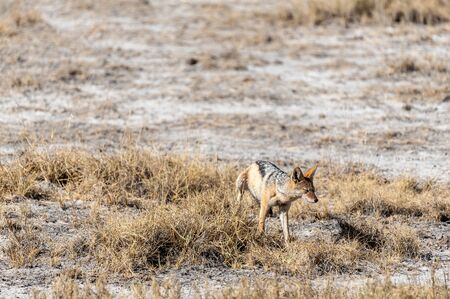 A side-striped Jackal -Canis Adustus- leaving its marks in Etosha National Park, Namibia. Stock fotó