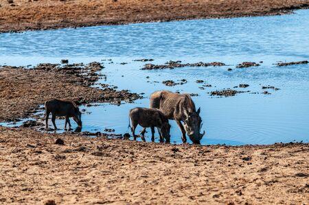 Closeup of a group of Common Warthogs - Phacochoerus africanus- near a waterhole of Etosha. Etosha National Park, Namibia. Stok Fotoğraf - 133837017