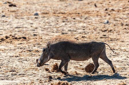 Closeup of a Common Warthog - Phacochoerus africanus- in the wilderness of Etosha. Etosha National Park, Namibia.