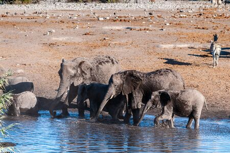 A herd of African Elephant -Loxodonta Africana- taking a bath in a waterhole in Etosha national Park. A group of Burchells Plains zebra -Equus quagga burchelli- is seen in the background. 免版税图像
