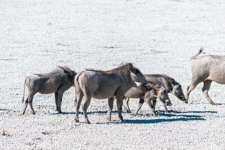 Closeup of a group of Common Warthogs - Phacochoerus africanus- on the Etosha Salt Pan. Etosha National Park, Namibia.