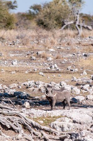 A Common Warthogs - Phacochoerus africanus- in the wilderness of Etosha. Etosha National Park, Namibia.