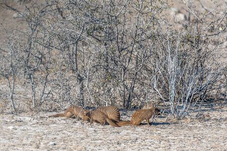 Un grupo de mangostas anilladas -Mungos mungo- Hinding detrás de los arbustos del Parque Nacional de Etosha, Namibia