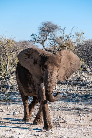 A giant African Elephant -Loxodonta Africana- walking past through the bushes of Etosha National Park, Namibia. 免版税图像