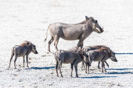 Closeup of a group of Common Warthogs - Phacochoerus africanus- on the Etosha Salt Pan. Etosha National Park, Namibia. Reklamní fotografie