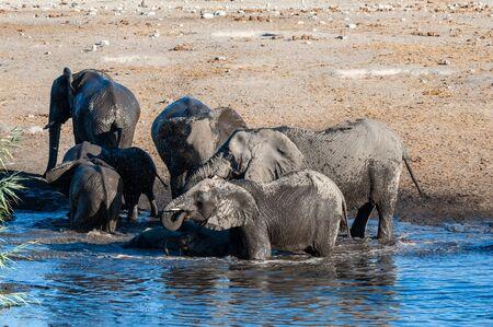 A herd of African Elephants -Loxodonta Africana- bathing in a waterhole in Etosha National Park, Namibia. Stock Photo