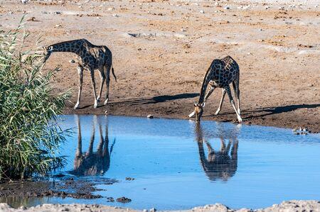 Two Angolan Giraffes - Giraffa giraffa angolensis- standing near a waterhole in Etosha National Park. Giraffes are the most vulnerable when drinking.