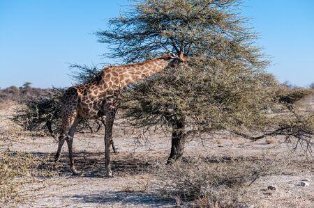 An Angolan Giraffe - Giraffa giraffa angolensis- eating scrubs from the bushes. Etosha National Park, Namibia. Stock Photo