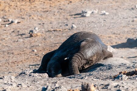 An African Elephant -Loxodonta Africana- rolling in the sand of Etosha National Park, Namibia, after having taken a bath.