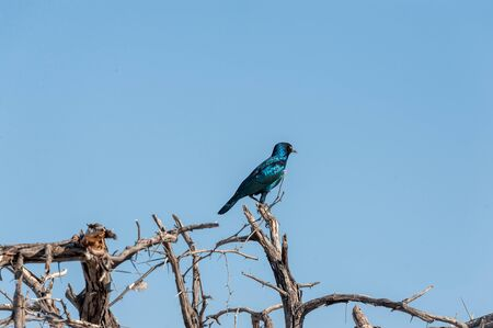 Closeup of a Cape glossy starling -Lamprotornis nitens- sitting on a tree in Etosha National Park in Namibia. 版權商用圖片