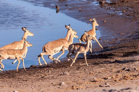 A group of Impalas -Aepyceros melampus- running nervously around a waterhole in Etosha National Park, Namibia. Banque d'images
