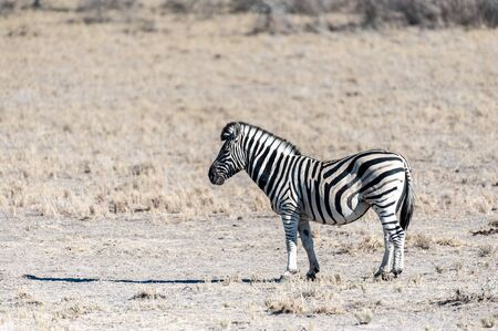 A Burchells Plains zebra -Equus quagga burchelli- standing on the plains of Etosha National Park, Namibia.