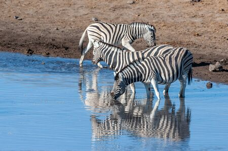 A Burchells Plains zebra -Equus quagga burchelli- drinking from a waterhole in Etosha National Park, Namibia. Reklamní fotografie