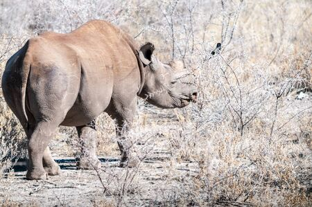 A black Rhinoceros - Diceros bicornis- eating scrubs on the plains of etosha national park, Namibia.