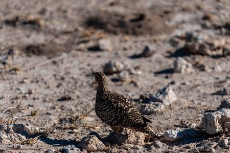 Closeup of a Crested Francolin - Dendroperdix sephaena- in Etosha National Park