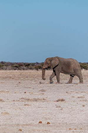 One big male African Elephant -Loxodonta Africana- walking down the plains of Etosha National Park.