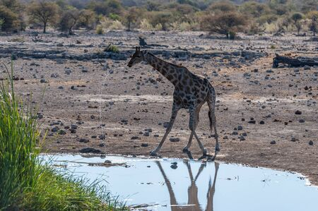 Backlit image of one Angolan Giraffe - Giraffa giraffa angolensis- is drinking from a waterhole in Etosha National Park. Giraffes are the most vulnerable when drinking.