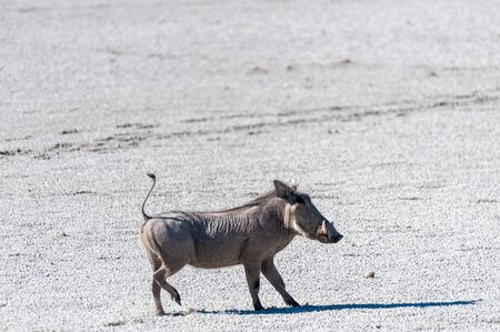 Closeup of a Common Warthog - Phacochoerus africanus- on the Etosha Salt Pan. Etosha National Park, Namibia. Reklamní fotografie