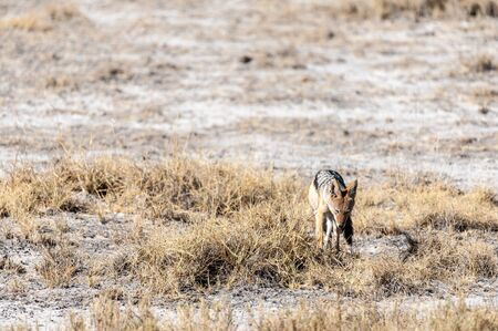 A side-striped Jackal -Canis Adustus- hunting for prey in Etosha National Park, Namibia. Reklamní fotografie